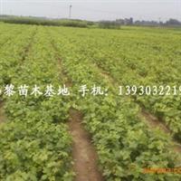 供应北京杏树苗,樱桃苗,苹果苗,占地苗