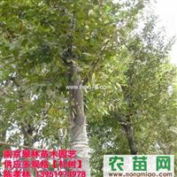 供应5.10.15.20.25.30公分朴树