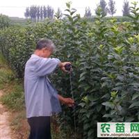 个体出售2公分木槿,北美等海棠成苗,仔播朴树