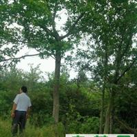 哪里有杜仲树?