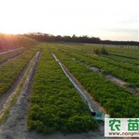 樟子松种子300斤