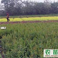 大量供应优质紫薇小苗10万棵