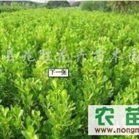 供应8-20公分黄杨分栽苗、冬青分栽苗