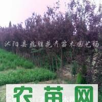 供应2-15公分紫叶李、2-15公分大叶女贞