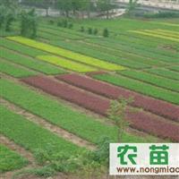 低价供应各种绿化小苗
