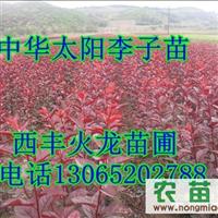 红叶李子苗