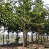 霸州苗木独一份 银杏10-20公分 巨便宜