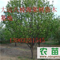 出售八棱海棠树 杏树 梨树等