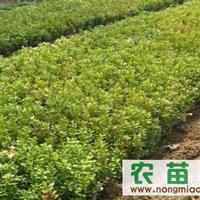 供应:瓜子黄杨,金叶女贞,龙柏,蜀桧,红叶小檗,卫矛,北京桧