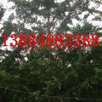 银杏13884883288