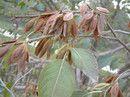 杜仲籽栾树刺槐籽漆树籽