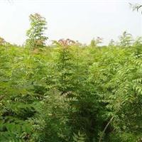 黄连木价格、优质黄连木种苗培育基地