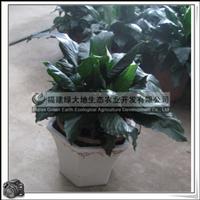 螺纹铁|热带常绿灌木|室内观叶植物|小盆栽|绿化苗木|大量批发