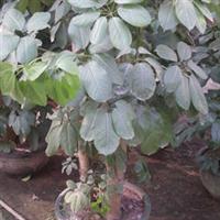 园林绿化苗木、净化空气、稀释甲醛【鸭脚木】