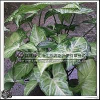 合果芋 园林绿化苗木 喜高温多湿 室内盆栽 大量批发