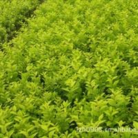 园林绿化苗木、金玉满堂、绿篱材料【金叶女贞】