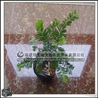 园林绿化苗木、室内观叶植物、行道树【南方红豆杉】