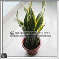 园林绿化苗木、多年生草本植物、室内观叶植物【虎尾兰】