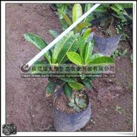 园林绿化苗木、常绿灌木、小盆栽【洒金榕】