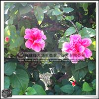 【扶桑花盆景】重瓣红花、造型盆景、园林绿化苗木