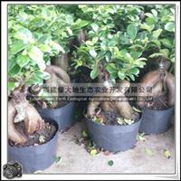 地瓜榕|桑科灌木|绿化苗|价格优惠大量批发