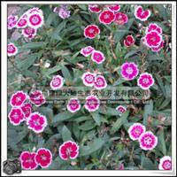 园林绿化苗木、花色丰富、母亲节象征【康乃馨】