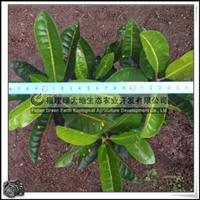 园林绿化苗木、常绿灌木、室内观叶植物【海南变叶木】