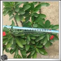 虎刺梅|绿化苗木|优质苗|公共场所摆设|盆栽观赏