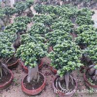 地瓜榕 室内小盆景 园林绿化苗木 优质苗木 大量批发