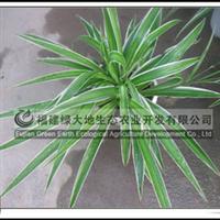 金边吊兰多年生草本植物办公绿化植物供应绿化苗木