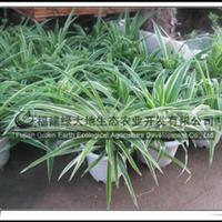 高29cm-37cm金边吊兰居室绿化植物供应绿化苗木