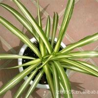 园林绿化苗木【金心吊兰】Chlorophytumcomosum