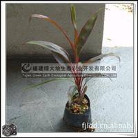 亮叶朱蕉 园林绿化苗木 常绿灌木 室内观赏植物