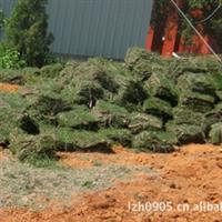【草坪草皮】绿化工程专用、固土护坡