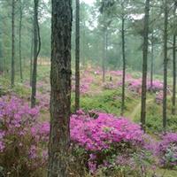 毛杜鹃|园林绿化苗木|落叶灌木|优质花木|大量批发