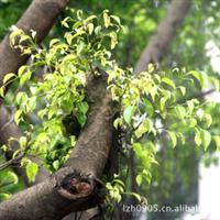 园林绿化苗木【印度紫檀】(移植苗)