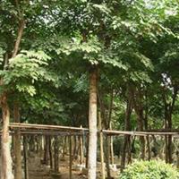 福建绿大地【印度紫檀】园林绿化苗木、防护树、移植苗