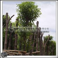 香樟树 园林绿化苗木 常绿大乔木 移植香樟 园林风景树