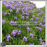 鸢尾 园林绿化苗木 地被植物 优质苗 价格优惠大量批发