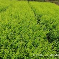 福建绿大地|金叶女贞|园林绿化苗木