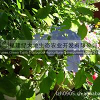 福建绿大地蓝雪花园林绿化苗木常绿灌木优质花木