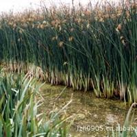 花叶水葱|园林绿化苗木|性喜温暖湿润|大量批发