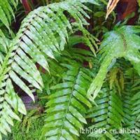 苗圃肾蕨绿化苗孢子植物福建绿大地大量批发