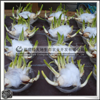 水仙花|漳州水仙花|室内观花植物冬春开花