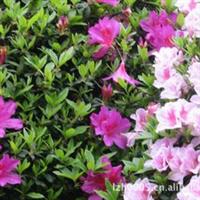 园林绿化苗木【三角梅】盆栽三叶梅