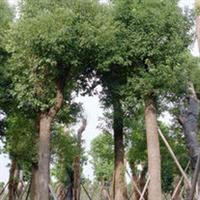 【秋枫】堤岸防护树、防沙固土