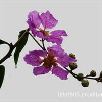 福建绿大地【大叶紫薇】园林绿化苗木、风景树、观花树