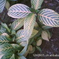 园林绿化苗木【金脉爵床】多年生常绿观叶植物灌木花卉