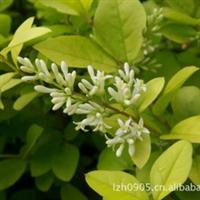 园林绿化苗木【金叶女贞】、常绿灌木、移植苗(熟苗)