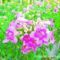 紫云藤|园林绿化苗木|园林棚架|优质苗木|大量批发